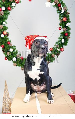 Staffordshire Terrier Dog In Santa Hat On The Background Of A Christmas Wreath. Merry Christmas Card