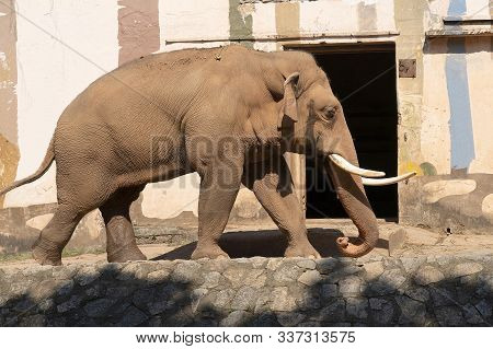 Red Elephant Walks In The Zoo. An Adult Brown Elephant Walks Along The Road. White Tusks Of An Eleph
