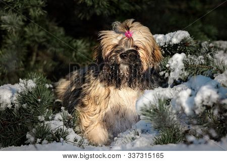 Adorable Lhasa Apso Puppy Sitting By A Pine Tree In Winter