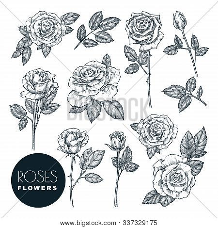 Roses Flowers Set, Vector Sketch Illustration. Hand Drawn Floral Nature Design Elements. Rose Blosso
