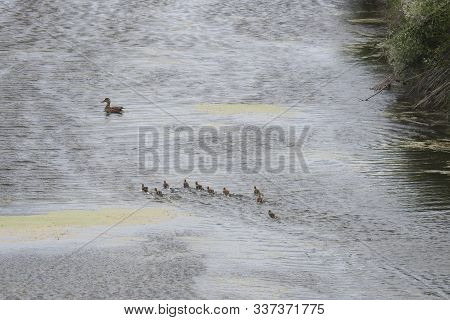 A Mama Duck, And Her Tiny Ducklings, Making Their Way Across The Marshy Wetlands, Of The Shasta Vall