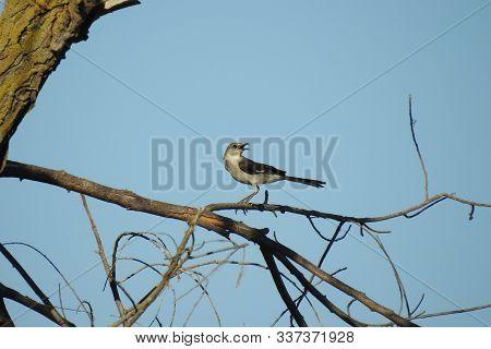 A Northern Mockingbird, Singing, While Perched On A Fragile Limb, Merced, California,