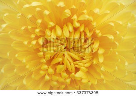 Chrysanthemum Grandiflorum Ramat.