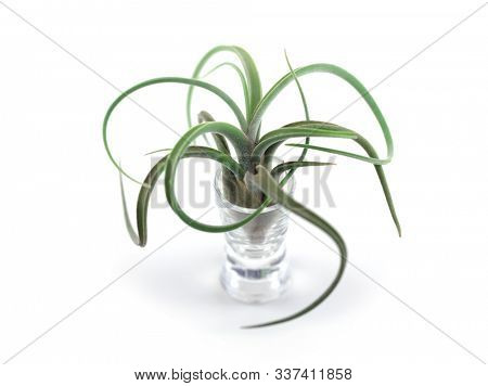 Tillandsia Air Plant Caput-Medusae with long curly branches, Isolated on white with natural shadows.