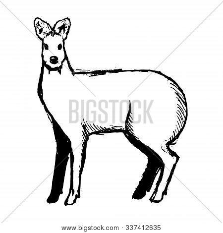 Hand Drawn Musk Deer Sketch On White. Vector