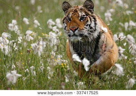 The Siberian Tiger (panthera Tigris Tigris), Or  Amur Tiger (panthera Tigris Altaica) Running In The