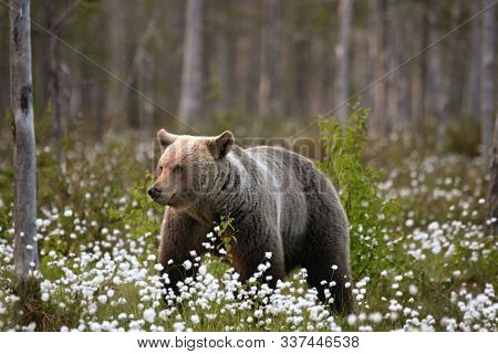 The Brown Bear (ursus Arctos) Female Walking In The Green Grass And White Flowers. The Brown Bear (u