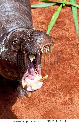 Sympathetic Specimen Of Hippopotamus Pigmy, Hexaprotodon Liberiensis