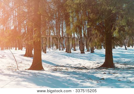Winter forest sunny landscape - forest winter fir trees and white winter snowdrifts on the foreground. Winter forest in sunlight