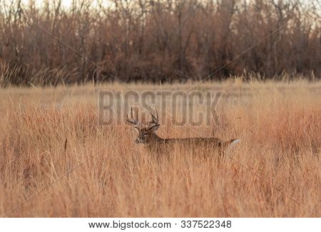 A Whitetail Deer Buck In Tall Grass During The Fall Rut