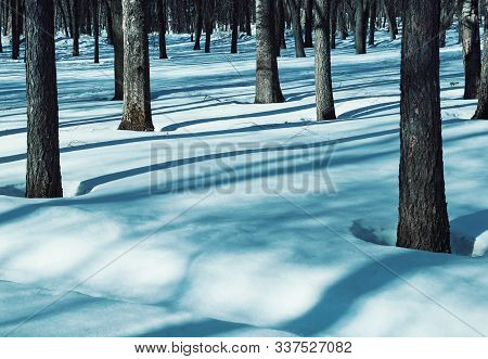 Winter forest landscape with snowy winter trees and white winter snowdrifts on the foreground. Colorful winter forest in sunset winter light