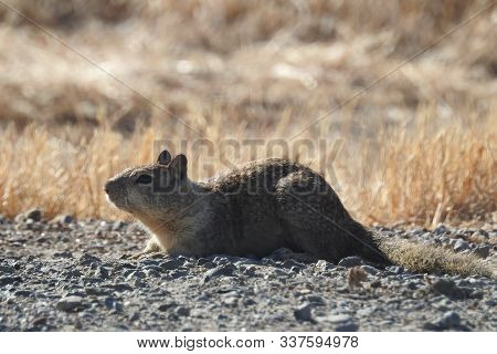 A California Ground Squirrel Enjoying The Warmth Of The Sun, Merced, California.