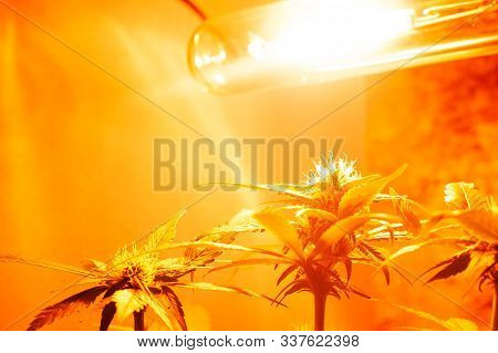 Cultivation Of Cannabis Indoors Under Artificial Yelow Light Lamps. Cannabis Cultivation Concept...