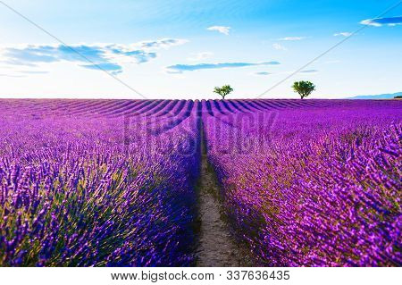 Lavender Fields Near Valensole, Provence, France. Beautiful Summer Landscape At Sunset. Blooming Lav