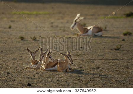 Couple Of Springboks Babies (antidorcas Marsupialis) In Kalahari Desert. Springboks Babies Have A Re