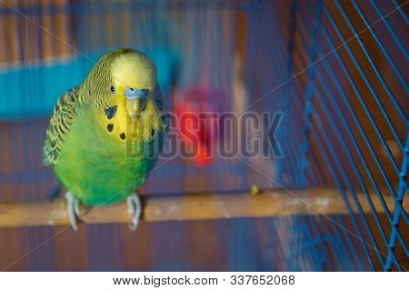 Budgie . Parakeets . Green Wavy Parrot Sits In A Cage . Rosy Faced Lovebird Parrot In A Cage . Birds