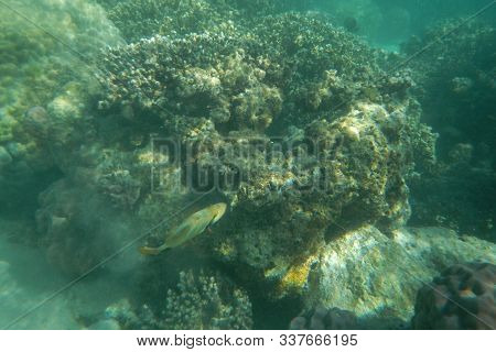 Funny Picasso Fish Swims In The Water Of The Pacific Ocean Near The Fiji Islands