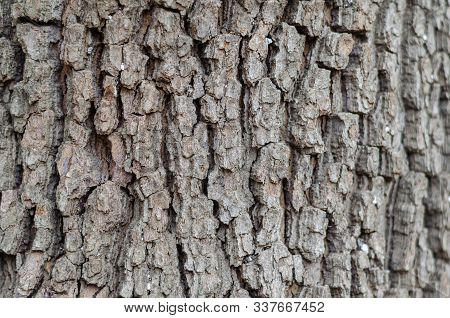 Close-up Of Maple Bark. Texture Of The Old Urban Tree. Natural Background. Semen At Eye Level. Lands