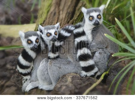 Three Lemurs Snuggled Together To Make It Warmer. Striped Tails And Large Brown Eyes Attract Attenti