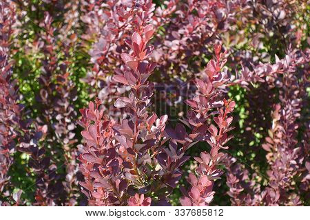 Lush Red Foliage Of Thunberg's Barberry In August