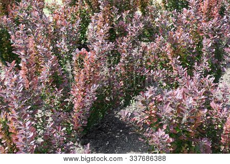 Multicolored Foliage Of Thunberg's Barberry Bushes In May
