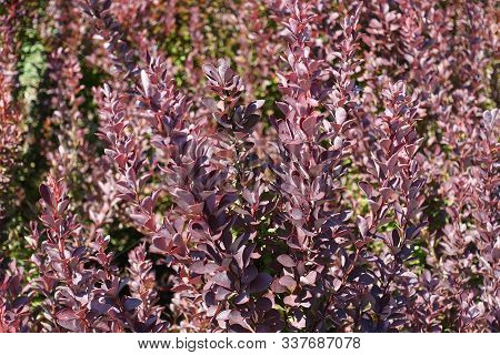 Purplish Red Foliage Of Thunberg's Barberry In August