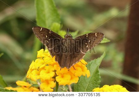 Close-up Of A Brown Southern Cloudywing Skipper Butterfly Sipping Nectar From A Yellow Lantana Bloom