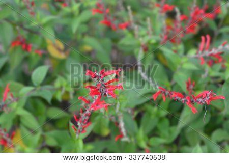 Pineapple Sage Ananas Red Flowers - Latin Name - Salvia Elegans Ananas