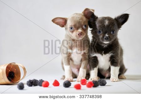Two Cute Chihuahua Dogs Puppy. Funny Little Shorthair Dogs. Preparing For A Dog Show