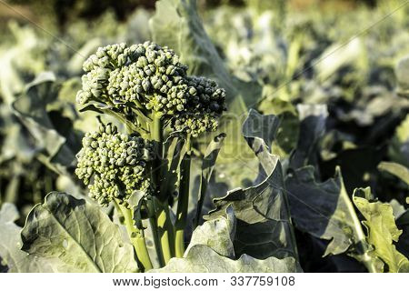 Broccoli plant in the Garden with selective focus in Brazil