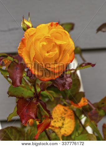 Orange Pinata Climbing Rose Blooming Colorful Fall Leaves Macro Bellevue Washington State. Last Rose