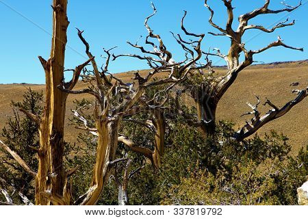 Twisted Branches On The Ancient Bristlecone Pine Trees Taken On A Grassy Alpine Mountain Plateau In