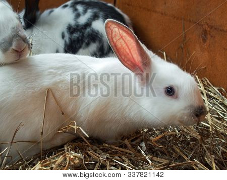 Cute White Rabbit With Pink Ears On The Background Of Other Rabbits. A White Fluffy Rabbit Is Sittin