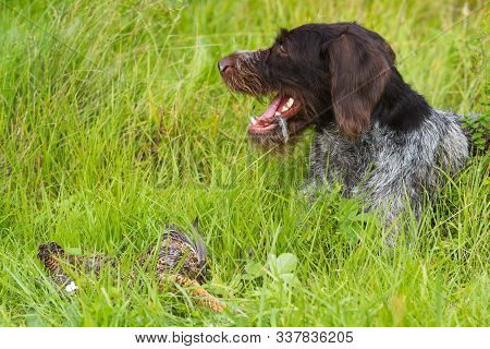 German Wirehaired Pointer Has Found Downed Wildfowl (hen Blackcock) And Is Waiting For The Hunter