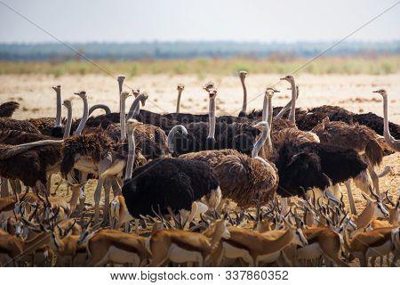 Group Of Ostriches And Springbok Antelopes Gathered Around A Waterhole In Etosha National Park, Nami