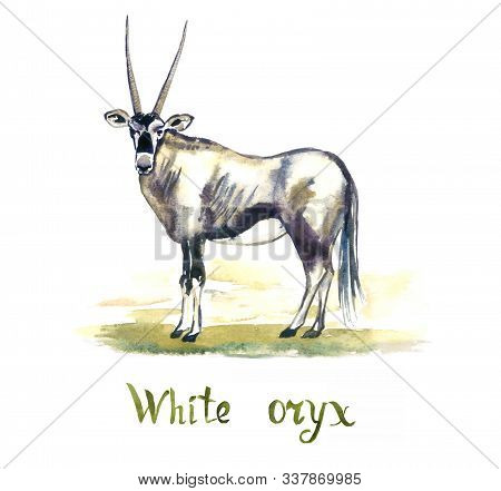White Oryx Antelope, Handpainted Watercolor Illustration Isolated On White, Element For Design