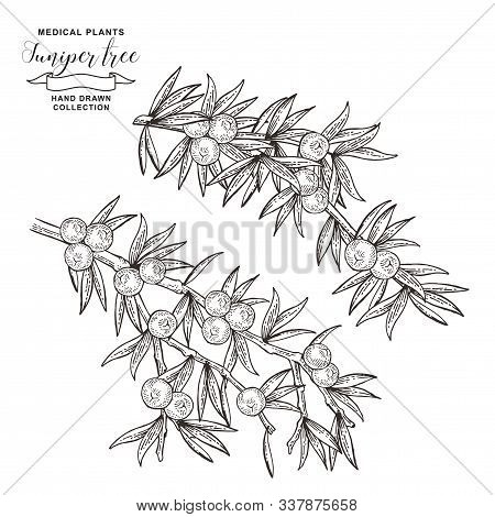 Juniper Tree Branch. Berries Ans Leaves Of Juniper Isolated On White Background. Hand Drawn Medical