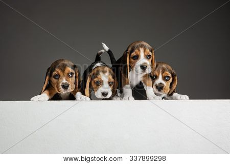Beagle Tricolor Puppies Are Posing. Cute White-braun-black Doggies Or Pets Playing On Grey Backgroun