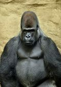 Sitting adult male gorilla on stone background poster