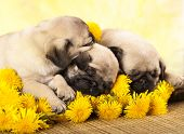 pug puppy and spring dandelions flowers poster