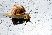 A snail on a glass surface with water drops poster