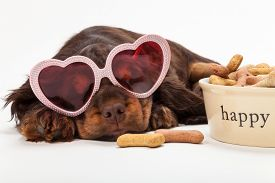 Cute Cocker Spaniel puppy dog wearing pink heart shaped sunglasses sleeping by Happy dog bowl of boned shaped biscuits