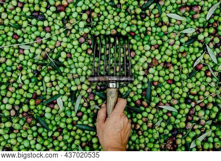 high angle view of young caucasian man with a comb-like tool in his hand used to collect the arbequina olives in an olive grove in Catalonia, Spain