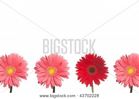 Stand Out Daisy: Pink And Red