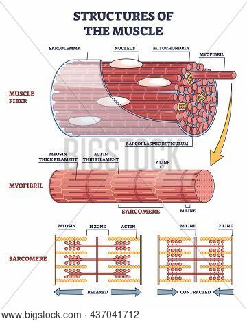 Structures Of Muscle With Fiber, Myofibril And Sarcomere Contraction Outline Diagram. Labeled Educat