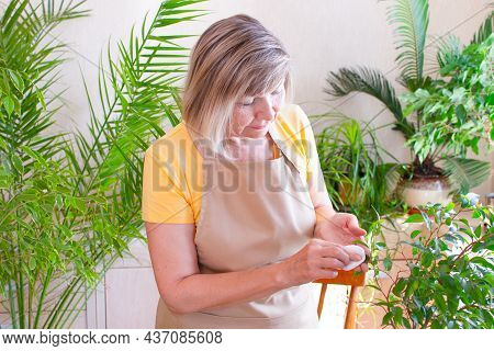 Happy Elderly Woman Wipes A Green Leaf, Cares For A Plant In A Pot. Senior Woman Caring For Indoor P