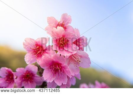 Beautiful Cherry Blossom, Prunus Cerasoides In Thailand, Sakura On The High Mountains Of Doi Angkhan
