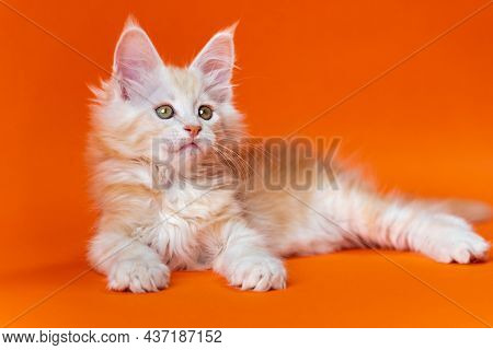 Portrait Of Cute 2 Months Old Male Maine Shag Cat Of Color Red Silver Classic Tabby Lying Down In Re
