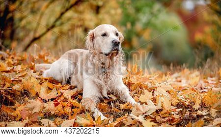 Golden retriever dog lying on ground on yellow leaves in autumn park. Cute purebred doggy pet outdoors