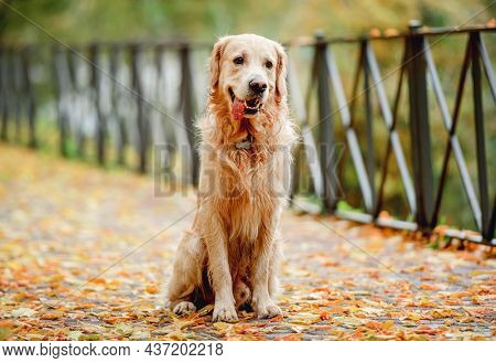 Wet golden retriever dog sitting on yellow leaves in autumn park with tonque out. Cute purebred doggy pet outdoors after rain